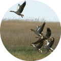 Hunting in Romania - Geese
