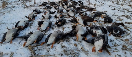 Hunting Geese in Romania