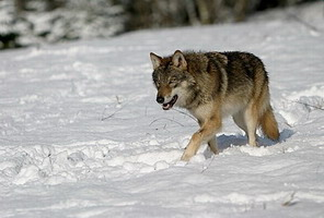 Hunting Wolf in Romania