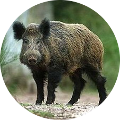 Hunting in Romania - Boar