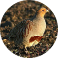 Hunting in Romania - Partridge